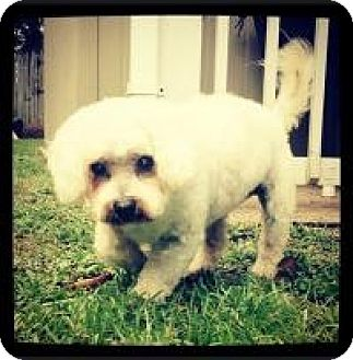 Maltese/Poodle (Miniature) Mix Dog for adoption in Grand Bay, Alabama - Sweetie