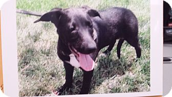 Labrador Retriever/Greyhound Mix Puppy for adoption in Palmetto Bay, Florida - Lucy