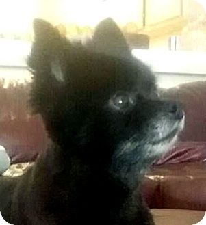 Pomeranian Mix Dog for adoption in Las Vegas, Nevada - Cookie