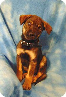 Siberian Husky/Labrador Retriever Mix Puppy for adoption in Olympia, Washington - Bear