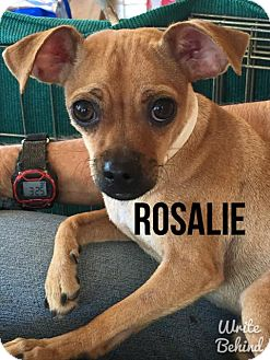 Pug/Jack Russell Terrier Mix Dog for adoption in Glendale, Arizona - ROSALIE