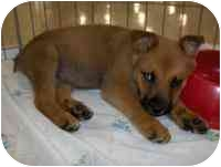 Australian Shepherd Mix Puppy for adoption in Ephrata, Pennsylvania - Krystal & Kyla