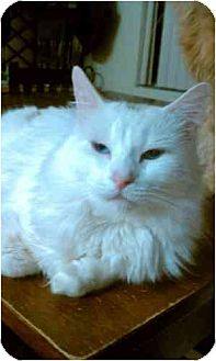 Domestic Mediumhair Cat for adoption in Vacaville, California - Neveah