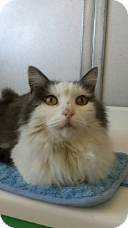 Ragdoll Cat for adoption in Scottsdale, Arizona - Jingles