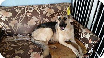 German Shepherd Dog Mix Dog for adoption in Austin, Texas - Bella