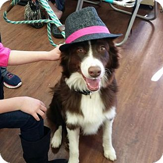 Australian Shepherd Dog for adoption in Nesbit, Mississippi - Bear
