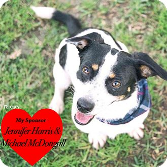 Rat Terrier/Dachshund Mix Dog for adoption in San Leon, Texas - Ricky