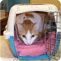 Domestic Shorthair Cat for adoption in Stuarts Draft, Virginia - Precious