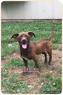 Dachshund Mix Puppy for adoption in Va Beach, Virginia - Mike