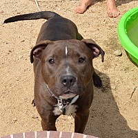 American Staffordshire Terrier Mix Dog for adoption in Palm Springs, California - Tinker