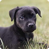 Adopt A Pet :: Samantha - MCLEAN, VA