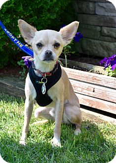 Chihuahua/Pug Mix Dog for adoption in Southbury, Connecticut - Dillon ~ meet me!
