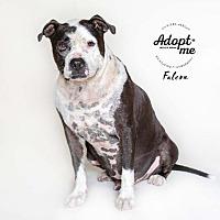 Adopt A Pet :: Falcon - Billings, MT