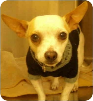 Chihuahua Dog for adoption in House Springs, Missouri - Ivan