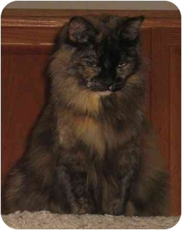 Domestic Shorthair Cat for adoption in Tracy, California - Zoey-ADOPTED!