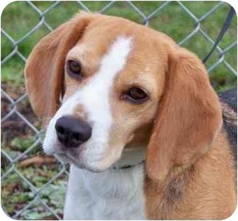 Beagle Dog for adoption in Portland, Oregon - Conrad