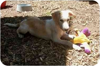 Golden Retriever/Labrador Retriever Mix Puppy for adoption in south plainfield, New Jersey - Geoff
