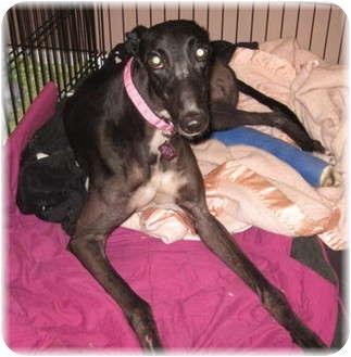 Greyhound Dog for adoption in Harrisburg, Pennsylvania - Rosie
