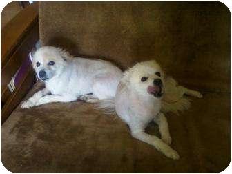 American Eskimo Dog Dog for adoption in Stockton, Missouri - Winter