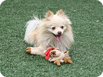 Pomeranian Mix Dog for adoption in Coronado, California - Happy