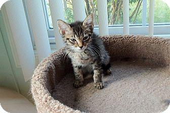 Domestic Shorthair Kitten for adoption in Catasauqua, Pennsylvania - Ricki