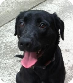 Labrador Retriever Mix Dog for adoption in Brooklyn, New York - Kentucky Girl