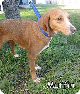 Hound (Unknown Type) Mix Dog for adoption in Georgetown, South Carolina - Muffin