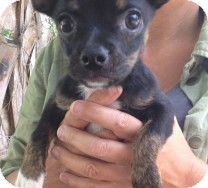 Chihuahua Mix Puppy for adoption in St. Petersburg, Florida - Prissy
