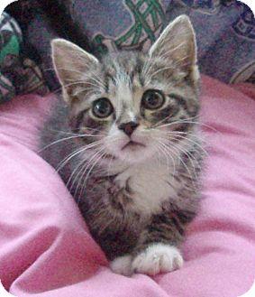 Domestic Shorthair Kitten for adoption in Germansville, Pennsylvania - Brenna