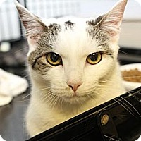 Domestic Shorthair Cat for adoption in Winston-Salem, North Carolina - Cindy