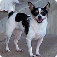 Adopt A Pet :: Silly - San Angelo, TX