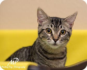 Domestic Shorthair Kitten for adoption in Fountain Hills, Arizona - Weldon