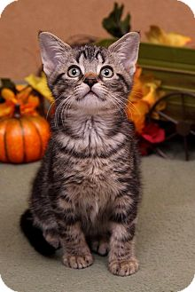 Domestic Shorthair Kitten for adoption in Sterling Heights, Michigan - Archie-ADOPTED