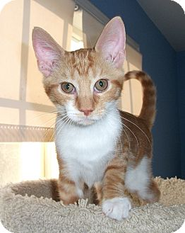 Domestic Shorthair Kitten for adoption in Colmar, Pennsylvania - Kennie