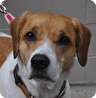 St. Bernard/Hound (Unknown Type) Mix Dog for adoption in Atlanta, Georgia - Bailey
