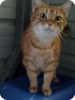 Domestic Shorthair Cat for adoption in Delmont, Pennsylvania - Cara