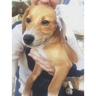 Hound (Unknown Type) Mix Puppy for adoption in Weeki Wachee, Florida - Zoey