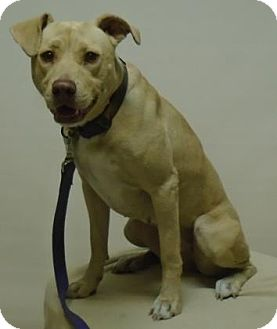 Labrador Retriever Mix Dog for adoption in Gary, Indiana - Sandy