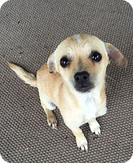 Chihuahua Mix Puppy for adoption in Cat Spring, Texas - Minnie*