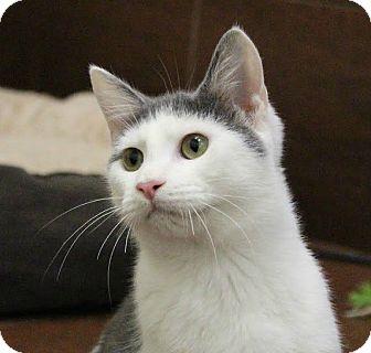 Domestic Shorthair Cat for adoption in Chesapeake, Virginia - Walton