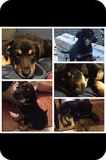 German Shepherd Dog/Australian Shepherd Mix Puppy for adoption in Seattle, Washington - Dixie