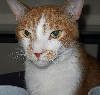 Domestic Shorthair Cat for adoption in Saranac Lake, New York - OJ