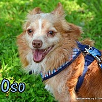Pomeranian/Chihuahua Mix Dog for adoption in Rhome, Texas - Oso