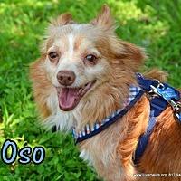 Adopt A Pet :: Oso - Rhome, TX