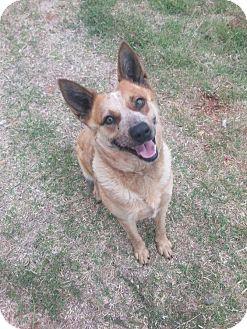 Australian Cattle Dog Dog for adoption in Elgin, Oklahoma - Sadie