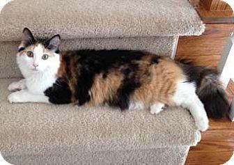 Calico Cat for adoption in Merrifield, Virginia - Thumbelina