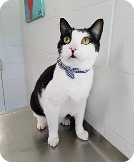 Domestic Shorthair Cat for adoption in Umatilla, Florida - Bobby *SPONSORED*