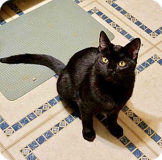 Domestic Shorthair Kitten for adoption in Colmar, Pennsylvania - Eknox