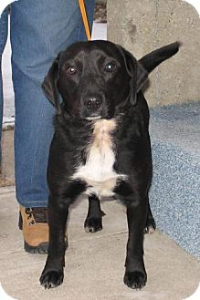 Labrador Retriever/Beagle Mix Dog for adoption in Palatine/Kildeer/Buffalo Grove, Illinois - Donny