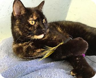 Domestic Shorthair Cat for adoption in Flint HIll, Virginia - MizTortie